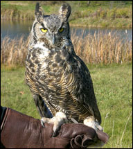 Sophie - The Great-horned Owl